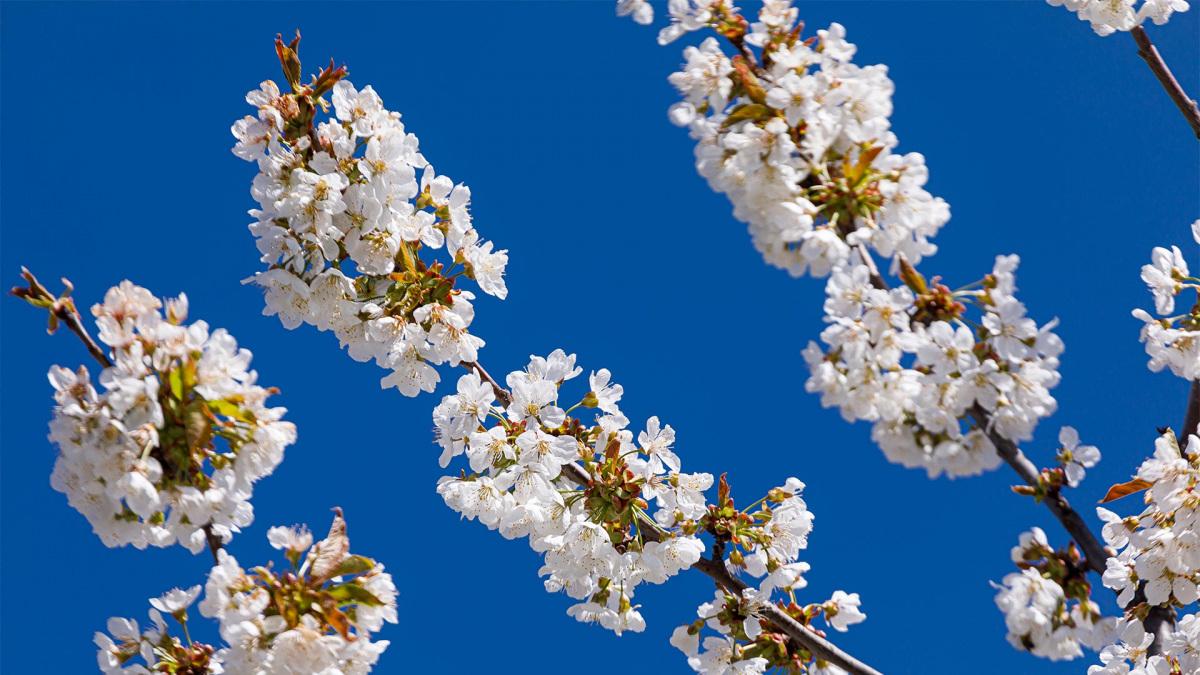 cseresznye-indito.jpg