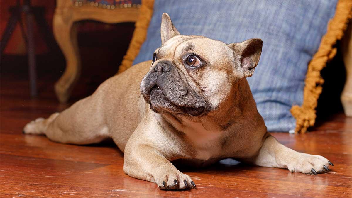 francia-bulldog.jpg