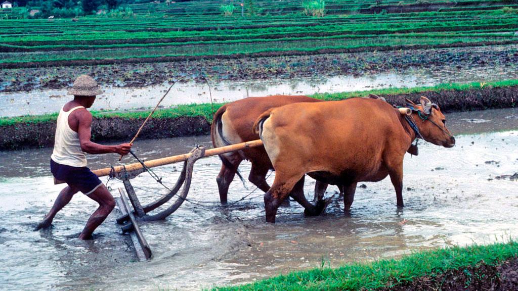 rizsfold-szarvasmarhaval.jpg