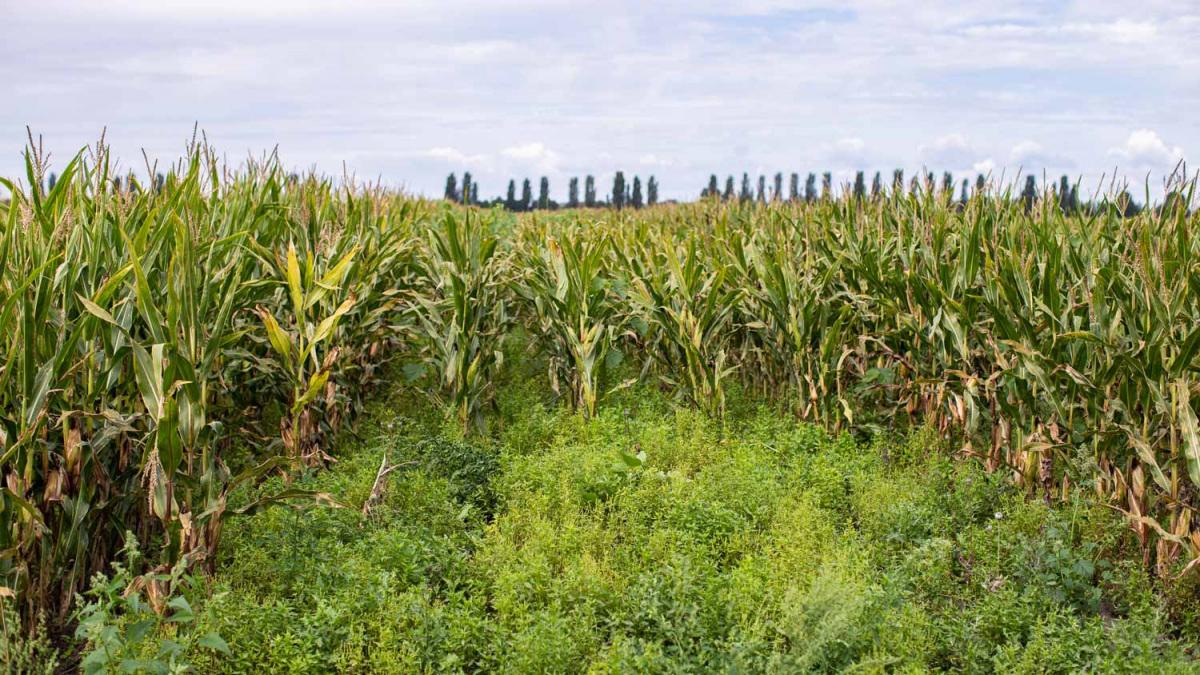 sorokban-kukorica.jpg