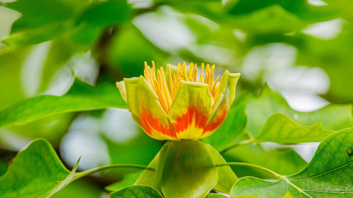 tulipan-indito_0.jpg