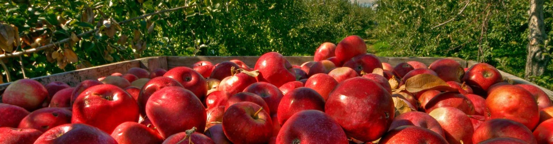 Kerüljön alma a spájzba!
