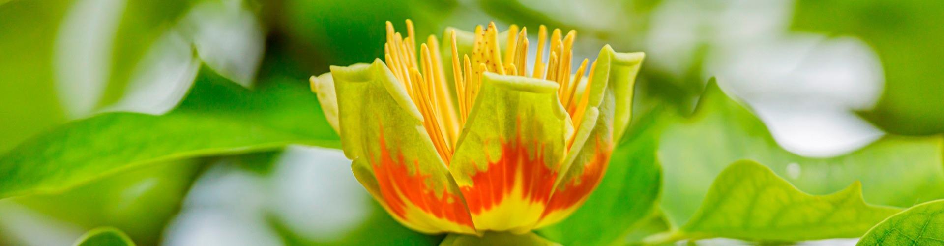 Most virágzik a tulipánfa!