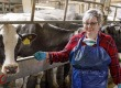 A tehenet a száján keresztül fejik