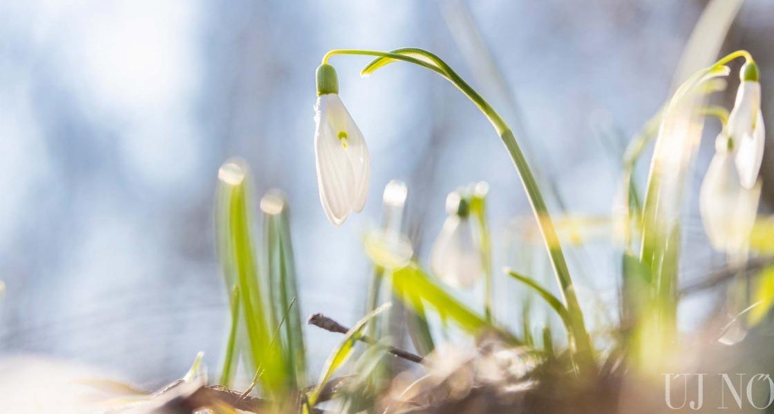 Hóvirág és a hagymája