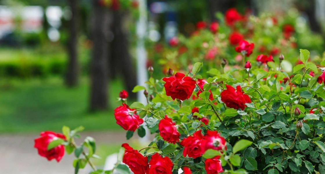 Rózsa Ától Zéig